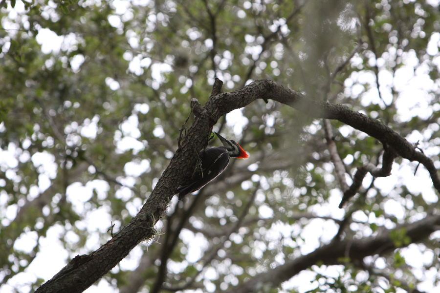 Pileated Woodpecker - Fort Myers